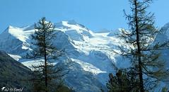 Piz Bernina (Grisons - Suisse) (Jean-Daniel David) Tags: montagne grisons ciel suisse alpes paysage bernina massif arbre mélèze glacier neige blanc bleu nature