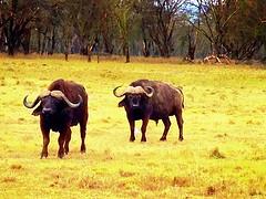 Kenya, Lake Nakuru National Park. Buffalo (dimaruss34) Tags: newyork brooklyn dmitriyfomenko image sky kenya svetlanafomenko lakenakurunationalpark animal grass buffalo tree trees forest field