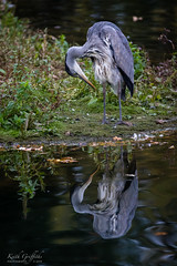 Is that me? (Photography - KG's) Tags: rspb wildlife nature bird birds animals reserve brandonmarsh greyheron