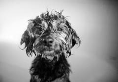 """40/52 - """"I hate baths"""" (Kirstyxo) Tags: teddy cute bath 4052 52weeksfordogs 52weeksfordogs18 52weeksfordogs2018"""
