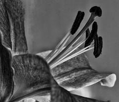 Stargazer lily!😊 (LeanneHall3 :-)) Tags: blackandwhite mono petals lily stargazerlily pollen stems closeup closeupphotography macro macrophotography macroflowerlovers macrounlimited canon 1300d