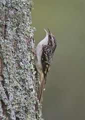 Brown Creeper (J Gilbert) Tags: certhiaamericana browncreeper grimpereaubrun capemay bird tree trunk lichen bark