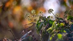 Autumn ivy... (.: mike | MKvip Beauty :.) Tags: sony⍺7markiii sony⍺7iii sonyilce7m3 sonyalpha7m3 sonyalpha sony alpha emount ⍺7iii ilce7m3 vivitarseries170~210mmƒ3 vivitarseries1 70~210mmƒ35 kironvintagezoom manualexposure manualfocusing manual manualondigital handheld availablelight naturallight backlight backlighting sunset sunsetlight goldenhour shallowdof bokeh bokehlicious beyondbokeh extremebokeh smoothbokeh nature flower wildflower ivy autumn karlsruhe knielingen germany europe mth mkvip vivitarseries170~210mmƒ35vmcmacro ngc npc