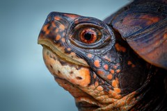 Eastern Box Turtle (Terrapene carolina carolina) (Douglas Heusser Photography) Tags: terrapene carolina eastern box turtle herpetology reptile shell nature wildlife canon macro photography photo 100mm lens heusser palymra cove new jersey nj park road hiking