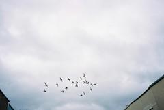 Bedminster wheel, October (knautia) Tags: bedminster pigeons flock wheeling bristol england uk october 2018 film ishootfilm olympus xa2 olympusxa2 kodak ektar 100iso nxa2roll82 wheelingbirds