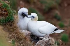 Gannet Chick and Parent (ammonite 1) Tags: gannet chick parent troup head nature reserve rspb aberdeenshire