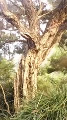 Melaleuca linariifolia (sftrajan) Tags: melaleucalinariifolia tree arbol botany bark narrowleavedpaperbark australianplants snowinsummer flaxleavedpaperbark sanfranciscobotanicgarden australianflora botanischetuin botaniskträdgård myrtaceae