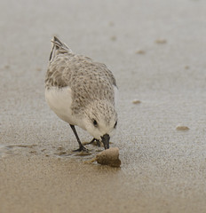 Sanderling Hermosa Beach D601358 (jes.morton) Tags: review hermosabeach sanderling calidrisalba sandcrab emeritaanaloga