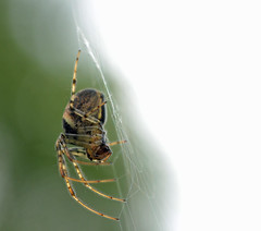 dainty toes (conall..) Tags: metellina female silk web spider closeup raynox dcr250 macro county down tullynacree nw551041 annacloy field northernireland orb gorse green white