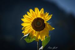 Sunflower 900 (Peter Goll thx for +8.000.000 views) Tags: 2018 uraub schlitters tirol zillertal österreich at sonnenblume sunflower
