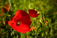019 Poppies (georgestanden) Tags: colour photo photography photograph art picture photooftheday photographer poppy poppies abstract flowers nature red field closeup macro green plant flower wild meadow
