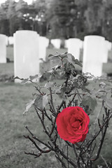 Graves with in colour red rose (kimberley07) Tags: brookwood woking surrey military cemetery grave autumn october remeberance