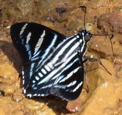 Elbella (Birdernaturalist) Tags: bolivia butterfly hesperiidae lepidoptera pyrginae pyrrhopygini richhoyer skipper