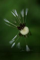 Comfortably Numb (Jason Boyd Duncan) Tags: seed nature colour green jasonboydduncan jasonbduncan time