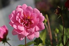 Looking Pretty in Pink (abrideu) Tags: abrideu canoneos100d dahlia flower macro depthoffield bright bokeh pink plant