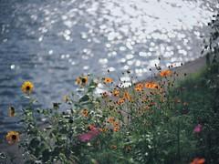 nostalgia (Kito K (fxkito2)) Tags: cosmos japan dof tokyo fineart bokeh lumix olympus flower nature sunflower omd