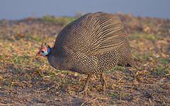 Guinea fowl, Chobe NP (nisudapi) Tags: bird guineafowl speckled 2018 africa wildlife botswana boat river safari chobe choberiver nationalpark animal