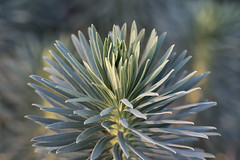 Euphorbia (Francis Mansell) Tags: plant leaf kew kewgardens royalbotanicgardenskew bokeh blur macro