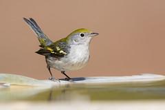 Chestnut-sided Warbler (X8A_7926-1) (Eric SF) Tags: chestnutsidedwarbler warbler