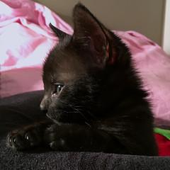Quiet moment (maralina!) Tags: kitten kitty kitteh cat chat chaton gattito gattino gato gatto tomcat matou quiet pensive thoughtful floof