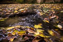 The sound of autumn (Stefano Avolio) Tags: formello stream ruscello foglie leaves autunno autumn fall yellow sound suono water acqua river fiume stefanoavolio savolio valledelsorbo cremera