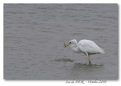 Grande aigrette (B.D. Photographies) Tags: d500 lac du der grue cendree grandeaigrette