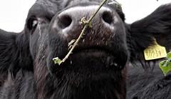Moo-ve Close. Oct 2018 (SimonHX100v) Tags: cow cattle cows bostaurus bovine bovinae ungulates closeupshot closeupphotography closeup bull farm farming farmanimal animal simonhx100v sonyhx100v hx100v sony bridgecamera kingsleyholt stokeontrent staffordshire