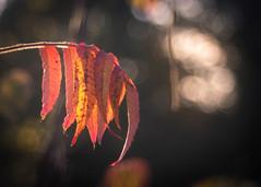 Autumn's Flag (ursulamller900) Tags: trioplan2950 essigbaum rhustyphina bokeh mygarden autumn autumncolors herbst herbstfarben orange rot red