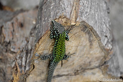 Lizard (ElisaArduini) Tags: lizard green animal animals animale animali nature natura outdoor palombara palombarasabina italia italy lucertola legno wildlife outside photography fotografia flickr photo photos foto nikon d3200 nikond3200