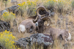 Bro Time (ChicagoBob46) Tags: rockymountainbighornsheep bighornsheep sheep yellowstone yellowstonenationalpark nature wildlife ngc naturethroughthelens coth5 npc