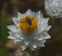 Tiny Bee fly feeding. (ron_n_beths pics) Tags: westernaustralia perthbushlands insects