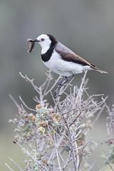 white-fronted chat (Tindo2 - Tim Rudman) Tags: bird chat whitefrontedchat nsw australia epthianura epthianuraalbifrons