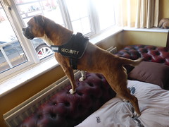 Reba on Duty! (andreboeni) Tags: reba boxer dog chien hund perros dogs hunden chiens security guard
