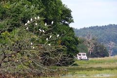 IMG_9816 (Deida 1) Tags: littleegrets birds trees pinmill suffolk uk