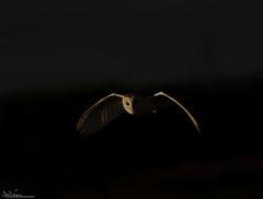 The Twilight Zone (Steve (Hooky) Waddingham) Tags: stevenwaddinghamphotography animal countryside voles bird british barn nature mice flight hunting wild wildlife prey owl night