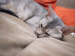 20181013_36_LR (enno7898) Tags: olympus penf mzuiko 17mm f18 cat pet abyssinian