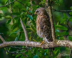 Red-shouldered Hawk (I think) (craig goettsch) Tags: corkscrewswamppreserve redshoulderedhawk raptor birdofprey bird avian wildlife nature animals florida nikon d500