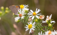 7K8A7883 (rpealit) Tags: scenery wildlife nature weldon brook management area banded hairstreak butterfly