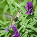 LA Zoo, local wild, Southern California Hummingbird DSC_0362