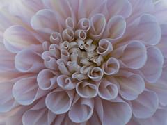 Cornets sucrés *-*-- ° (Titole) Tags: texture dahlia petals pink titole nicolefaton