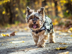 Autumn Walk (Jacek Klimczyk) Tags: jklimczykyahoocom jacekklimczyk animals dog yorkshire terrier beautiful color wild life rural scenes pet beauty nature behavior