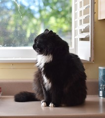 happy eyes (rootcrop54) Tags: batman male tuxedo cat longhaired profile smiling eyes neko macska kedi 猫 kočka kissa γάτα köttur kucing gatto 고양이 kaķis katė katt katze katzen kot кошка mačka gatos maček kitteh chat ネコ