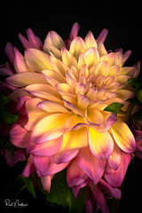 Dahlia (Reid Northrup) Tags: rrs dahlia flash flower flowers nikon northcarolina reidnorthrup macro bright floral stilllife