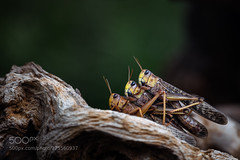 Stacked (KevinBJensen) Tags: 2018 300mm f4 pf d850 animal animals bokeh closeup dof eye germany grasshopper indoor insect macro nature published stuttgart zoo 300mmf4pf