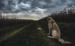 IMG_0883-HDR (Daladys) Tags: outdoor canon eos 600d dor labrador field corn maize road clouds fisheye samyang 8mm