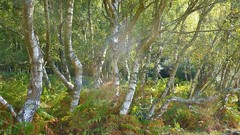 Silver Birches, New Forest NP, Hampshire, UK (east med wanderer) Tags: england hampshire uk newforestnationalpark silverbirches nationalpark bracken