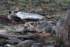 Pika DSC_0644 (Ron Kube Photography) Tags: pika mammal rodent rockrabbit kananaskis alberta southernalberta nikon nikond500 d500 ronaldok ronkubephotography ochotonaprinceps