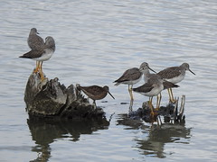 Long-billed Yellowleg Meeting (EastLadner) Tags: reifel rogers dncb 20181001 20101001