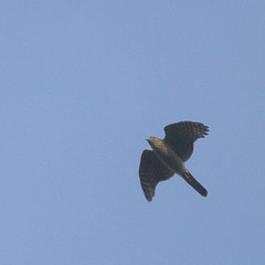 Sparrowhawk. (wurzel.pete.3.6 Million views,Ta!) Tags: 21018 sparrowhawk bird quarry uk bletchingley surrey warwickwold wild birdofprey