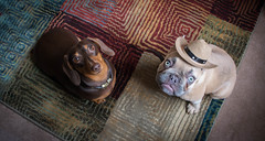 Maisie and Hector (cuppyuppycake) Tags: mymaisie smooth haired miniature dachshund puppy cute adorable maisie portrait dog animalblack background bed sleep pillow french bulldog